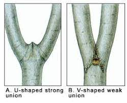 V-Shape And Leave U-Shaped Branches